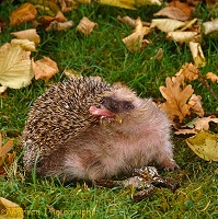 European Hedgehog self anointing