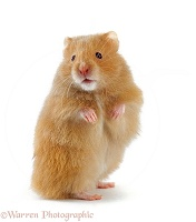 Golden Hamster standing up