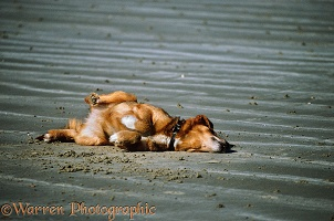 Dog rolling on sand
