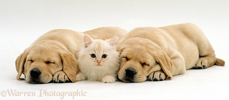 Cream kitten and Yellow Labrador Retriever puppies