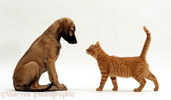Ginger kitten and Saluki Lurcher puppy