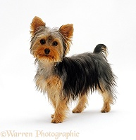 Yorkshire Terrier puppy standing up