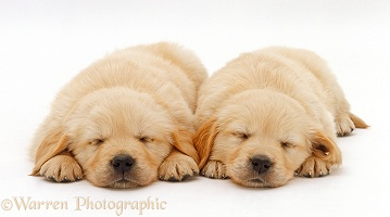 Two Yellow Labrador Retriever pups asleep