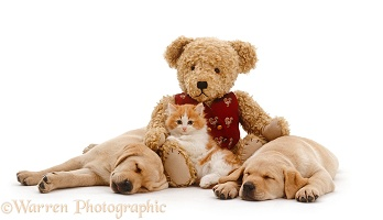 Kitten, teddy and Labrador pups asleep