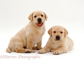 Two Retriever pups