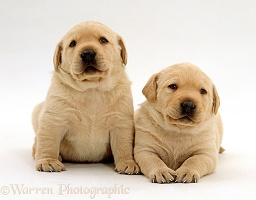 Cute Retriever pups