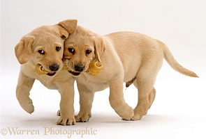 Retriever pups with rawhide chew