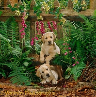 Cute Labrador puppies with fence and flowers