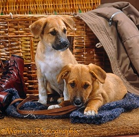 Two mongrel puppies and clothes basket