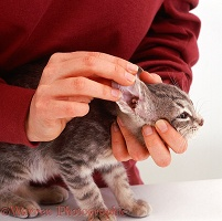 Examining the ear of grey tabby kitten, 12 weeks old