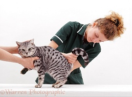 Vet nurse examining Silver Spotted cat
