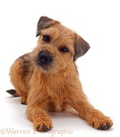 Border Terrier dog, lying down with head up, tilted