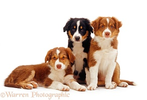 Three Black tricolour and red tricolour Border Collie puppies