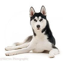Siberian Husky dog, lying down with head up