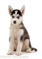 Siberian Husky puppy, 7 weeks old, sitting