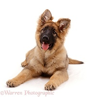 Alsatian puppy, lying down with head up