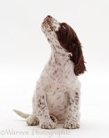English Springer Spaniel puppy expecting a treat