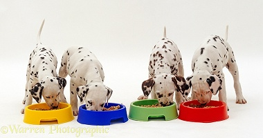 Dalmatian puppies eating from bowls
