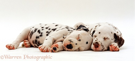 Two Dalmatian puppies asleep