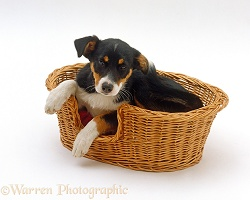 Tricolour Border Collie puppy in a basket