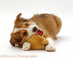 Border Collie puppy chewing a bone