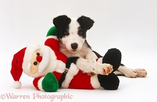 Border Collie puppy playing with toy Father Christmas