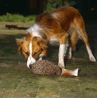 Dog sniffing a Hedgehog