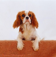 Cavalier with paws up