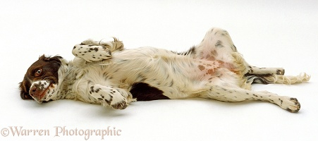 English Springer Spaniel pup rolling