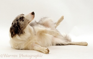 Blue Merle Border Collie rolling over in submissive display