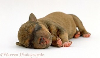 Lakeland Terrier x Border Collie puppy asleep