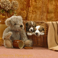 Border Collie puppies and teddy bear