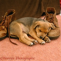 Brown puppy asleep with shoes