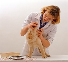 Vet examining Yellow Labrador Retriever puppy