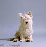 West highland white terrier, un-groomed