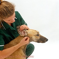 Vet examining ear of Saluki Lurcher bitch