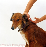 Inserting microchip into neck of Saluki Lurcher