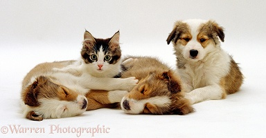 Tabby and white kitten with Sable Border Collie Pups