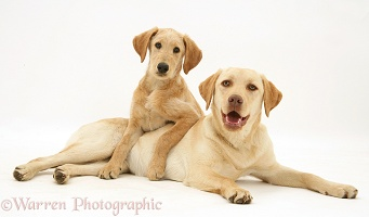 Yellow Labradoodle pup and Yellow Labrador