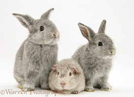 Young silver Rex Guinea pig and baby silver Lop rabbits
