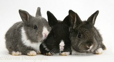 Baby Dutch-cross rabbits