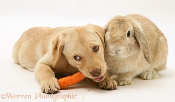 Yellow Retriever pup and Sandy Lop rabbit