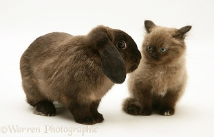 Chocolate Birman-cross kitten with chocolate Lop rabbit