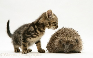 Tabby kitten inspecting a Hedgehog