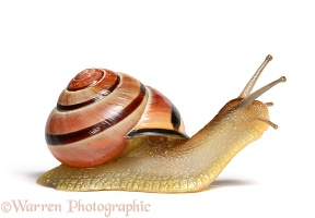 Striped snail