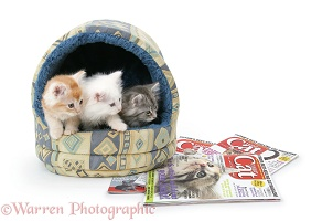Maine Coon kittens looking at magazines