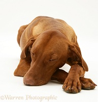 Sleepy Hungarian Vizsla bitch lying, chin on floor
