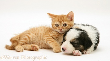 Sleepy Border Collie pup and ginger kitten