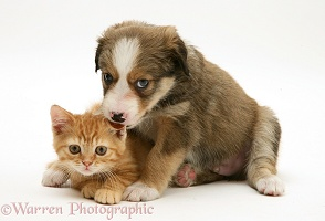 Border Collie pup licking ginger kitten