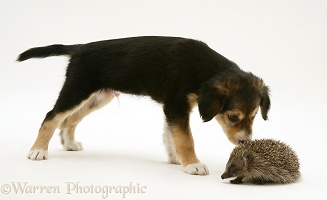 Border Collie pup meeting a young Hedgehog